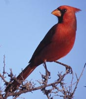 Kamikaze Kardinal